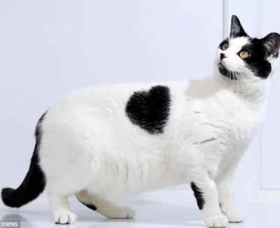 Un gato con un corazón en el pelaje