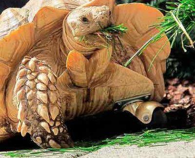 La tortuga Gamera, vuelve a andar gracias a una rueda