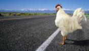 pollo_carretera