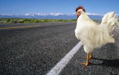 ¿Por qué el pollo cruzó la carretera? Aquí las respuestas [Humor]
