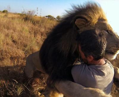 El hombre que abraza a los leones, sin protección y con amor