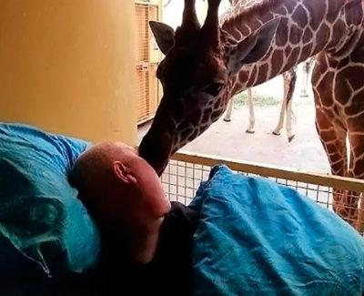 Una jirafa da un beso para despedir a su cuidador, enfermo de cáncer